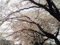 Sakura20070408_1_1