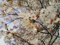 Sakura20070408_2_1
